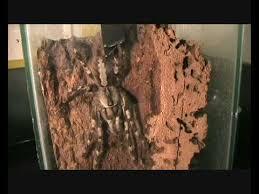 feeding indian ornamental tree spider poecilotheria regalis