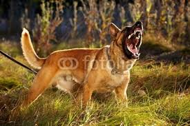 belgian malinois k9 attack pics for u003e belgian malinois attack animals seen and unseen