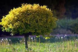 what are the best trees for small yards sproutabl