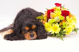 cavalier king charles spaniels greeting cards products maximus