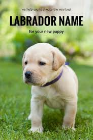 539 best labradors images on pinterest animals puppies