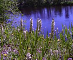 seneca snakeroot polygala senega seneca milkwort go botany
