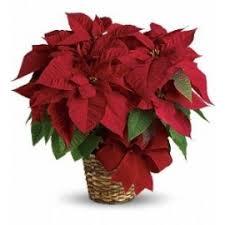christmas plants christmas plants crown florals parkersburg wv 26101