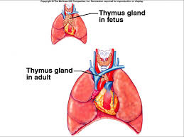thymus gland anatomy image collections learn human anatomy image