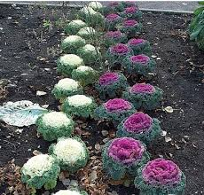 the phytophactor can you eat flowering kale