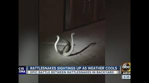 man records rattlesnakes fighting for dominance on his patio