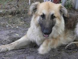 australian shepherd and husky mix german shepherd australian shepherd husky mix puppy dog and cat