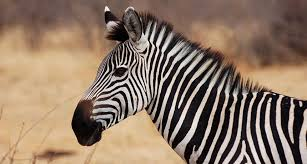 pattern formation zebra purpose of zebra stripes remains a mystery science news