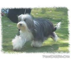bearded collie brown bearded collie puppies breeders collies