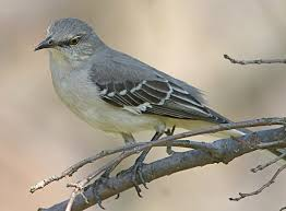 Mississippi birds images State bird of mississippi mockingbird jpg