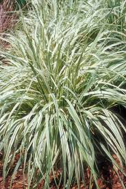 112 best waterwise grasses images on ornamental