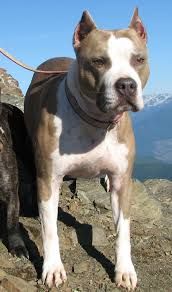 american pitbull terrier jumping file american pit bull terrier schatzi jpg wikimedia commons