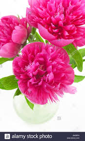 Peony Flowers Cerise Pink Peony Flowers In Glass Vase Stock Photo Royalty Free