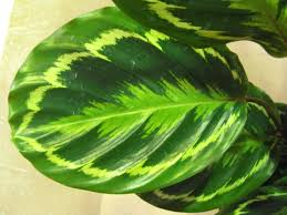 rose painted calathea calathea roseopicta description and