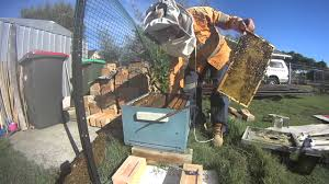 backyard beekeeping removing queen bee cage and checking health