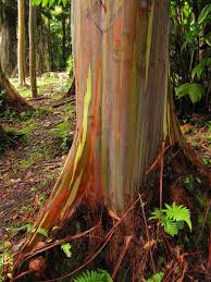Rainbow Eucalyptus Rainbow Eucalyptus Is One Dreamy Tree Oregonlive Com