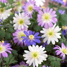 anemone plant anemone blanda mixed bulbs grecian windlowers mix easy to grow