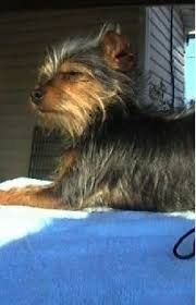 chorkie haircut styles chorkie dog breed information and pictures chihuahua yorkshire