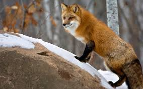sleeping red fox wallpapers animal wallpapers windows help