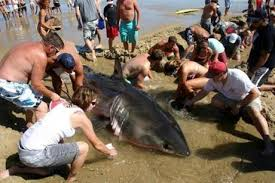 plays on cape cod 14 foot great white washes up on cape cod beach the boston globe