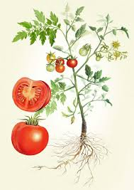tomato plant illustration adam dal pozzo creative direction