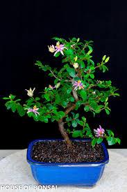 lavender star flower bonsai tree in ceramic pot u2013 house of bonsai