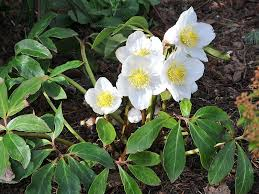 helleborus niger ashwood strain
