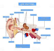 Anatomy Ear Animal Ear Pictures Images And Stock Photos Istock