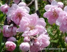 67 best trees flowering trees images on pinterest blossom