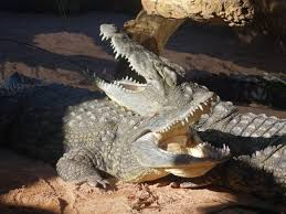 file crocodiles resting together jpeg wikipedia