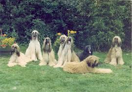 afghan hound kennel in australia bondor history the 70 u0027s