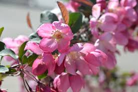 Profusion Flowering Crabapple - indian summer crabapple is a early spring blooming ornamental tree