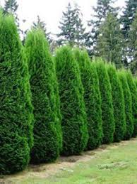 buy landscaping trees free shipping 79 99