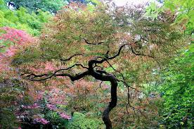 japanese tree in springtime photograph by athena mckinzie