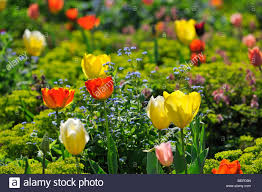 flowers in garden images colourful tulips tulipa sp and other flowers in flower garden