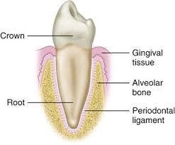 Dog Tooth Anatomy 1 Functional Anatomy And Biomechanics Of The Masticatory System