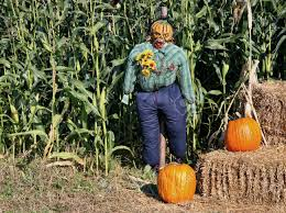 scary halloween images free scary halloween scarecrow at the edge of the farm corn field