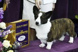 afghan hound westminster westminster dog show 2014 day 1 results u0027best of group u0027 in hound