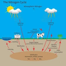 nitrogen cycle biology tutorvista com