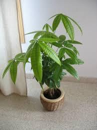the world s tree species malabar chestnut pachira aquatica