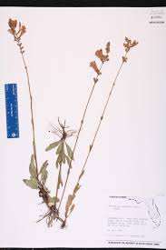 native plants of south florida physostegia purpurea species page isb atlas of florida plants