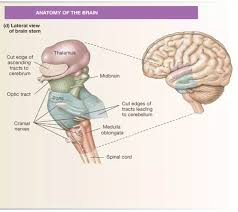 What Is The Main Function Of The Medulla Oblongata Can You Live Without A Brain Stem Quora