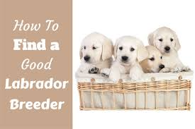 labrador breeders how to find the good ones labrador training hq