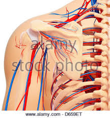 Human Shoulder Diagram The Human Vascular System The Shoulder Stock Photo Royalty Free