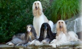 afghan hound times afghan hound dog information pets world
