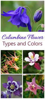 columbine flowers growing columbine how to grow aquilegia for bell shaped flowers