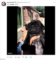 Depressed Pug Meme - twitter erupts with solar eclipse memes daily mail online