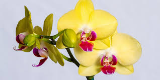 Yellow Orchid 6 Things To Look Out For When Buying Orchids