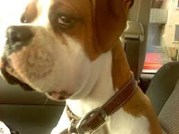 boxer dog health questions what could cause his face to swell boxer forum boxer breed