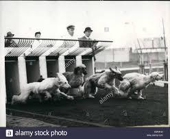 afghan hound racing uk nov 11 1958 afghan hound trials at new cross stadium afghan